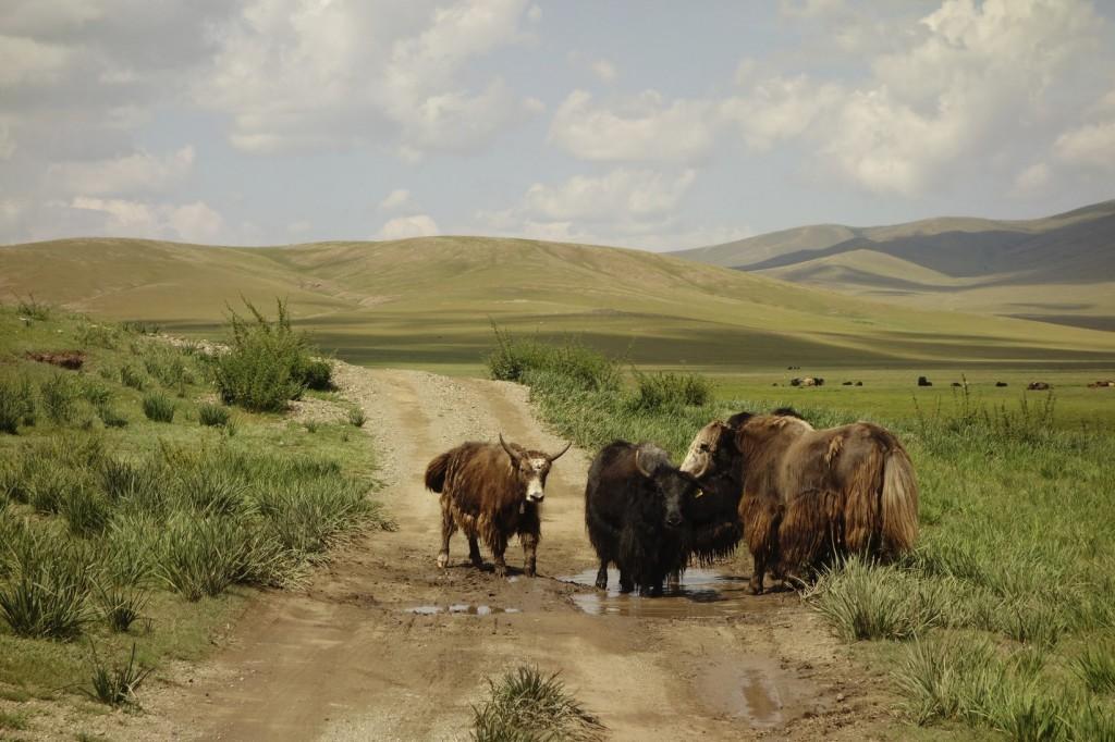 Certaines fois, il nous faut faire notre place. Ici, contre une famille de yaks