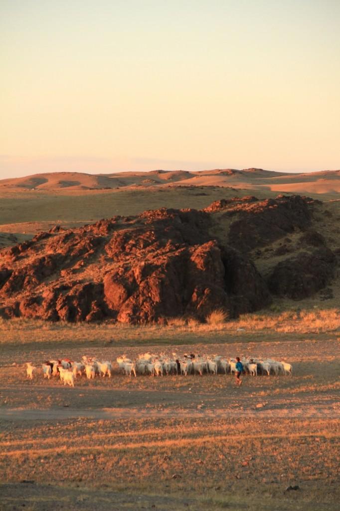 Fin de journée pour le troupeau