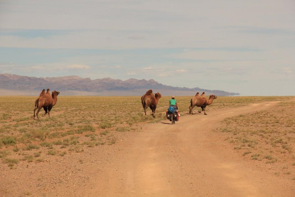 ... ni des chameaux!