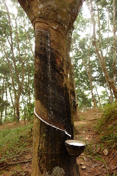 Au soir, les locaux viennent faire une entaille dans l'écorce de l'arbre pour que la sève puisse s'écouler