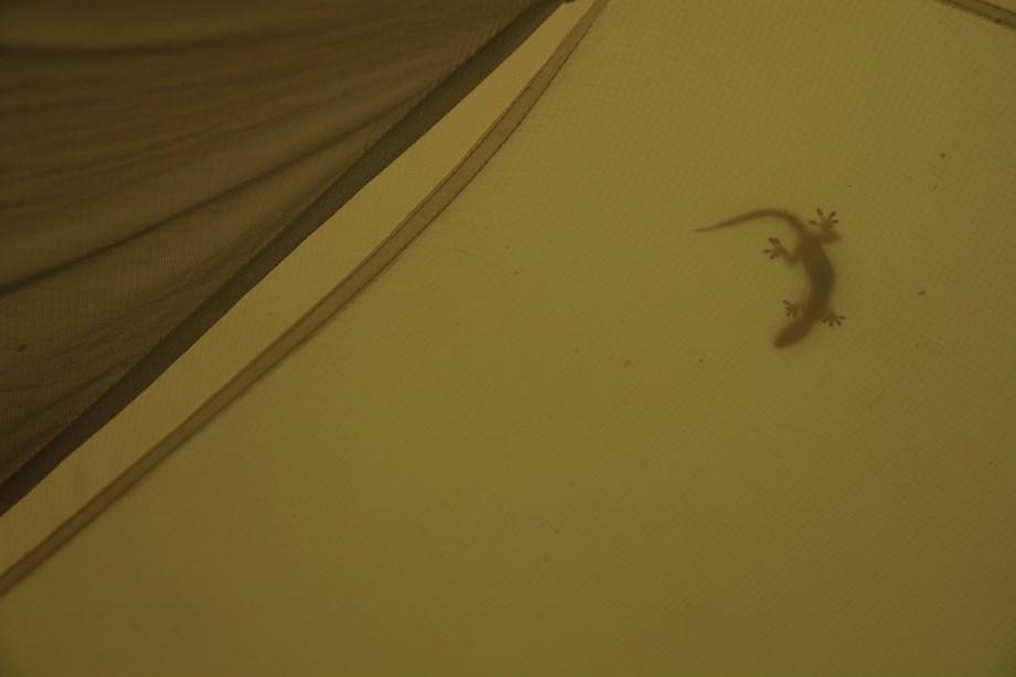 Gecko qui se prélasse sur ma tente après l'orage